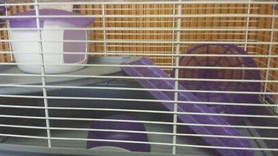 HAMSTER LINO PURPLE GREAT CAGE HAMSTERS!